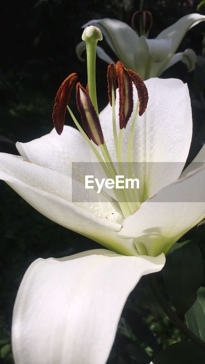 petal, flower, growth, beauty in nature, freshness, nature, plant, flower head, fragility, white color, no people, close-up, stamen, blooming, outdoors, day, day lily