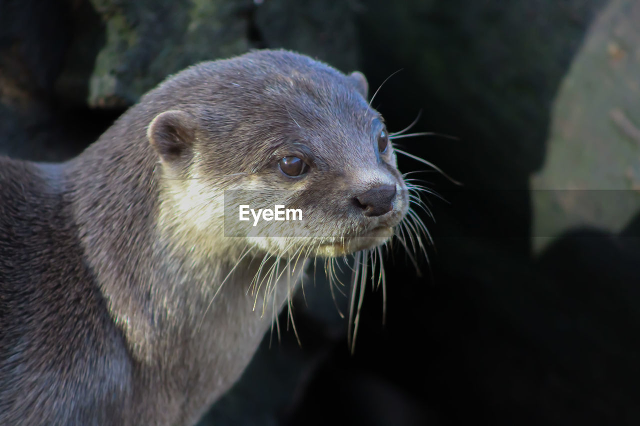 animal, animal themes, animal wildlife, one animal, animals in the wild, mammal, close-up, underwater, vertebrate, otter, no people, focus on foreground, looking, whisker, animal body part, animal head, day, looking away, nature, outdoors