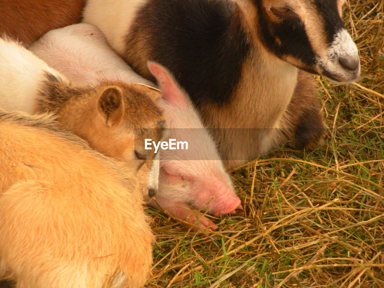 domestic, mammal, pets, animal themes, domestic animals, animal, group of animals, young animal, vertebrate, togetherness, livestock, high angle view, dog, canine, no people, relaxation, plant, grass, close-up, animal family, animal head, drinking