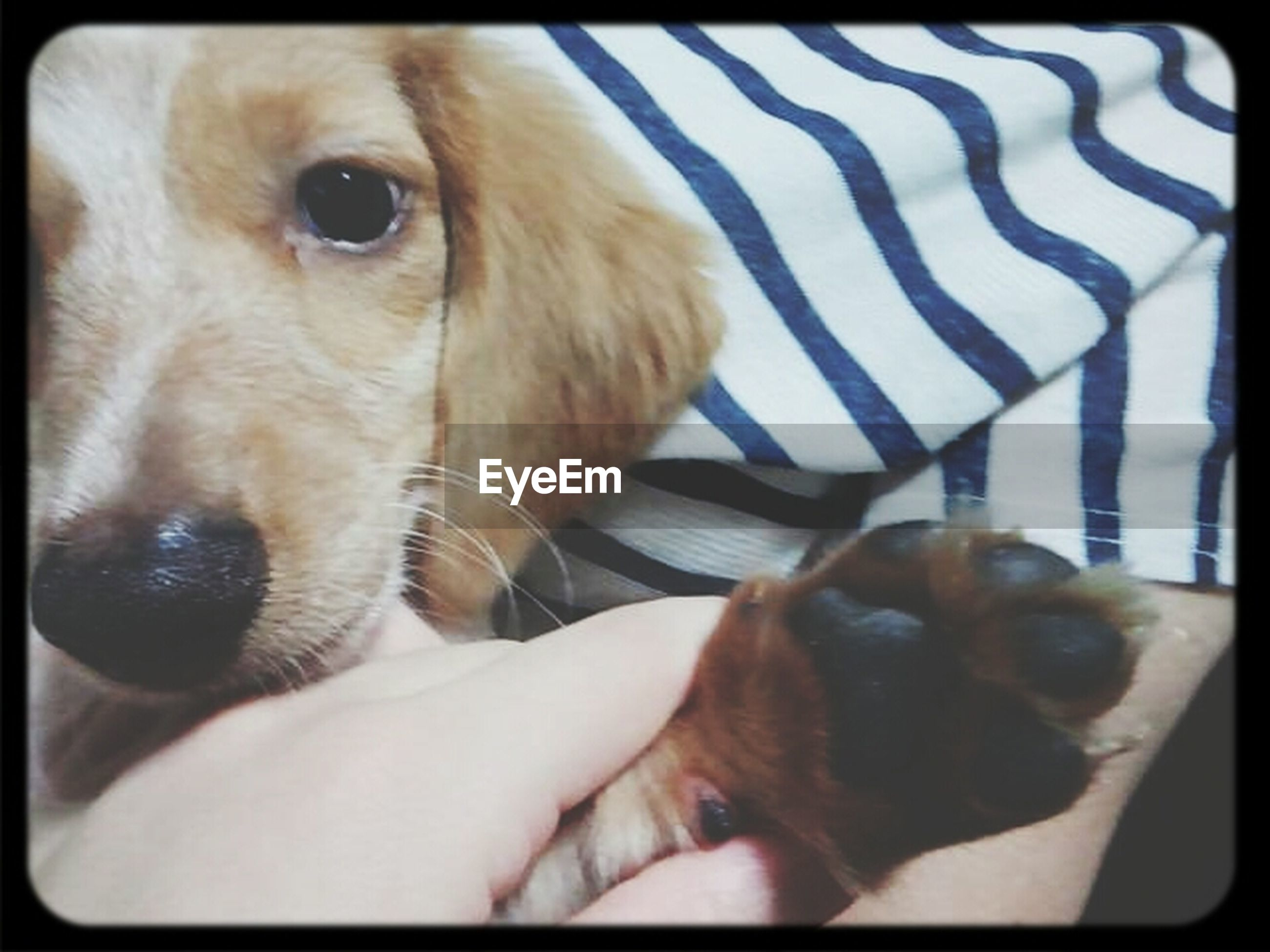 pets, domestic animals, dog, animal themes, one animal, mammal, indoors, relaxation, puppy, home interior, lying down, animal head, close-up, resting, cute, pampered pets, transfer print, young animal, auto post production filter, looking at camera
