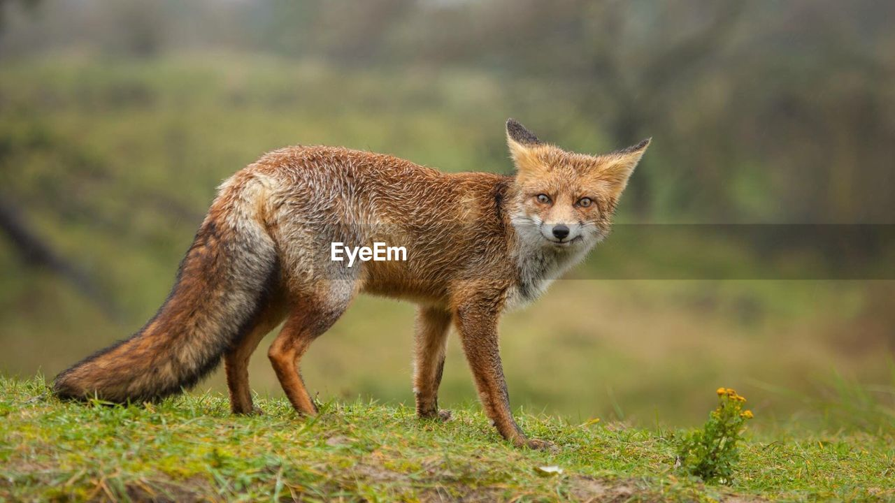 Low Angle View Of Fox Standing On Field