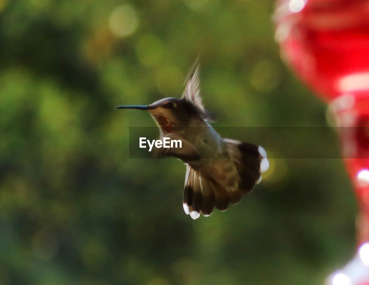 animal themes, animal wildlife, animals in the wild, flying, bird, vertebrate, animal, one animal, spread wings, blurred motion, motion, no people, hummingbird, mid-air, day, nature, focus on foreground, close-up, outdoors, beak, flapping