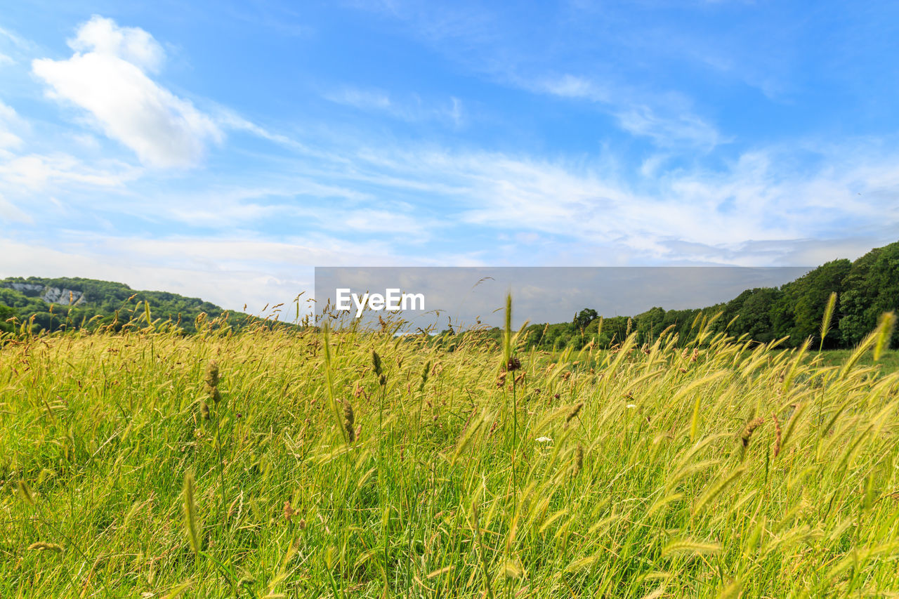grass, field, nature, sky, landscape, tranquility, scenics, tranquil scene, no people, beauty in nature, outdoors, day, agriculture, cloud - sky, green color, growth, rural scene, tree