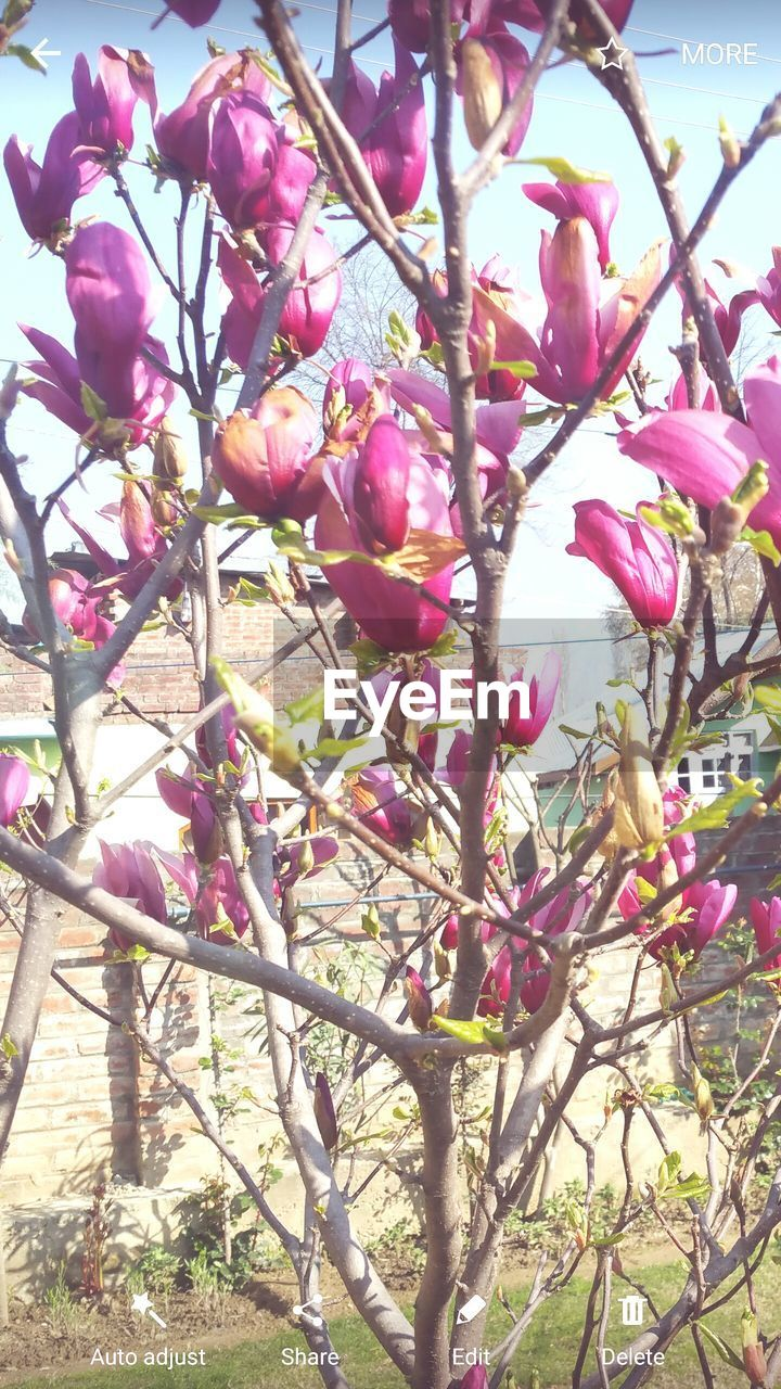 tree, flower, growth, beauty in nature, branch, nature, freshness, blossom, fragility, springtime, petal, pink color, day, low angle view, no people, botany, magnolia, outdoors, sunlight, flower head, close-up, plant, blooming