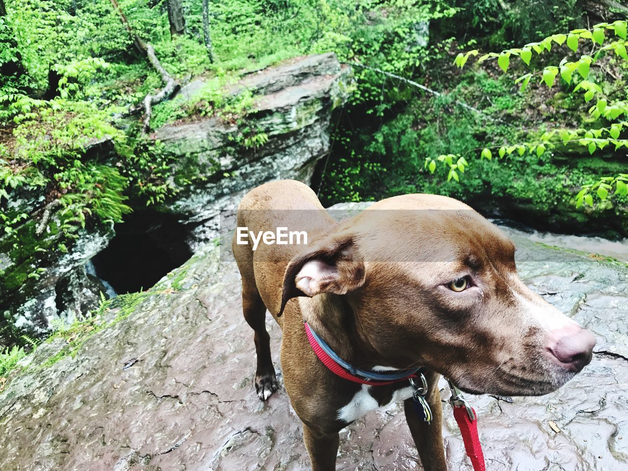 mammal, animal themes, domestic, pets, domestic animals, animal, dog, water, canine, one animal, vertebrate, nature, day, plant, rock, tree, collar, pet collar, solid, no people, outdoors, weimaraner
