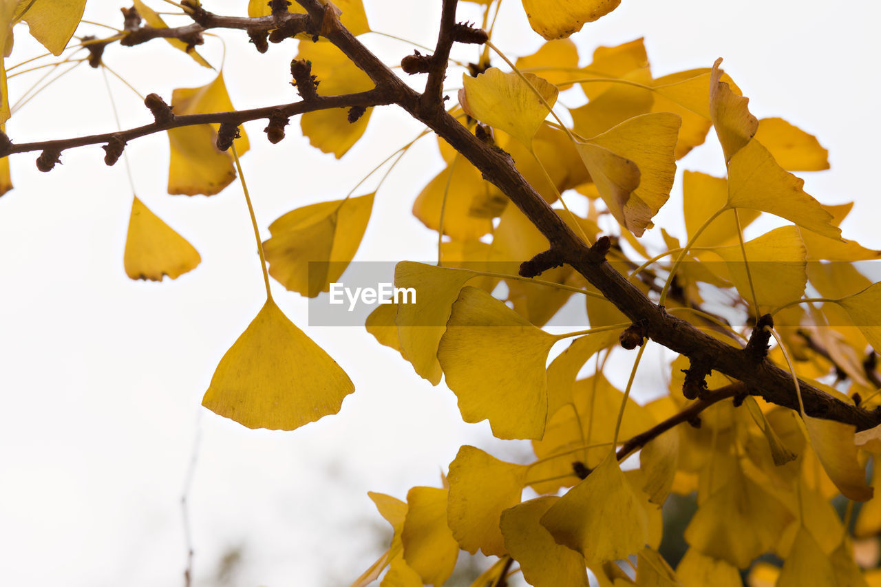 CLOSE-UP OF YELLOW LEAVES AGAINST SKY