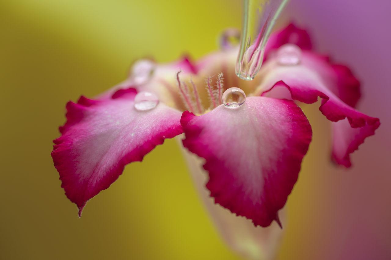 Close-up of dropper placing droplets over desert rose petals