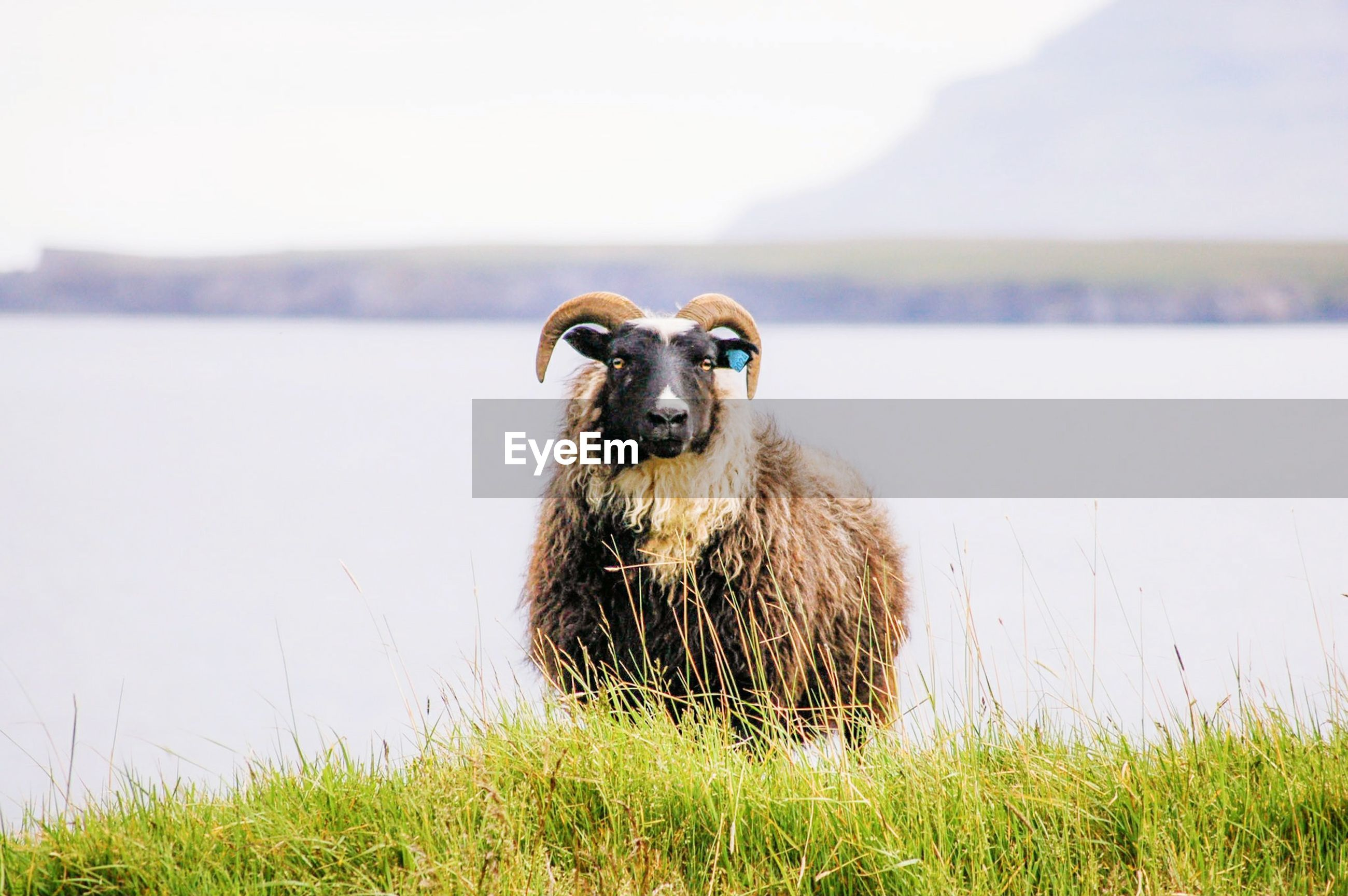 Portrait of sheep on grass against lake and sky