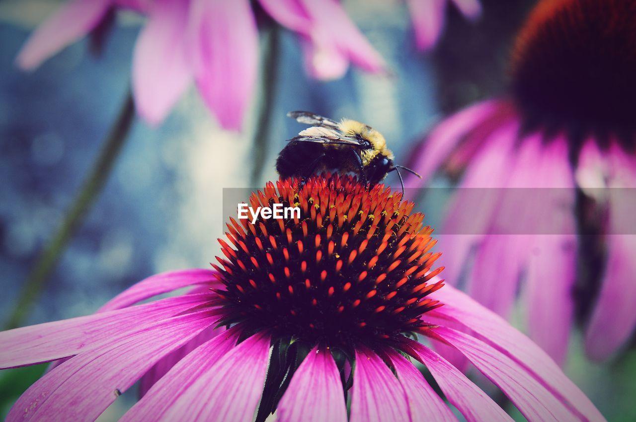 Close-Up Of Honey Bee On Purple Coneflower