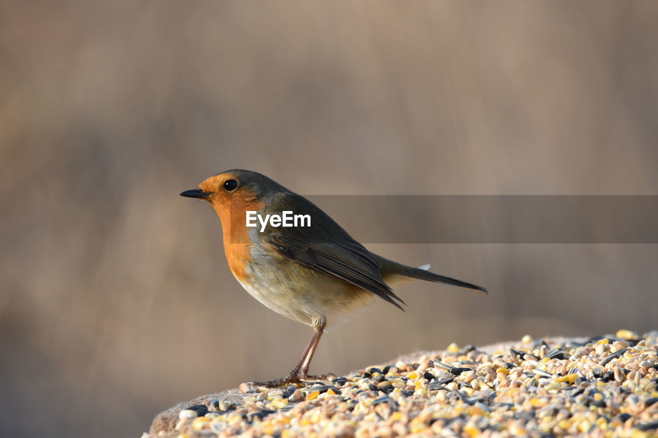 Close-Up Of Robin Perching On Rock