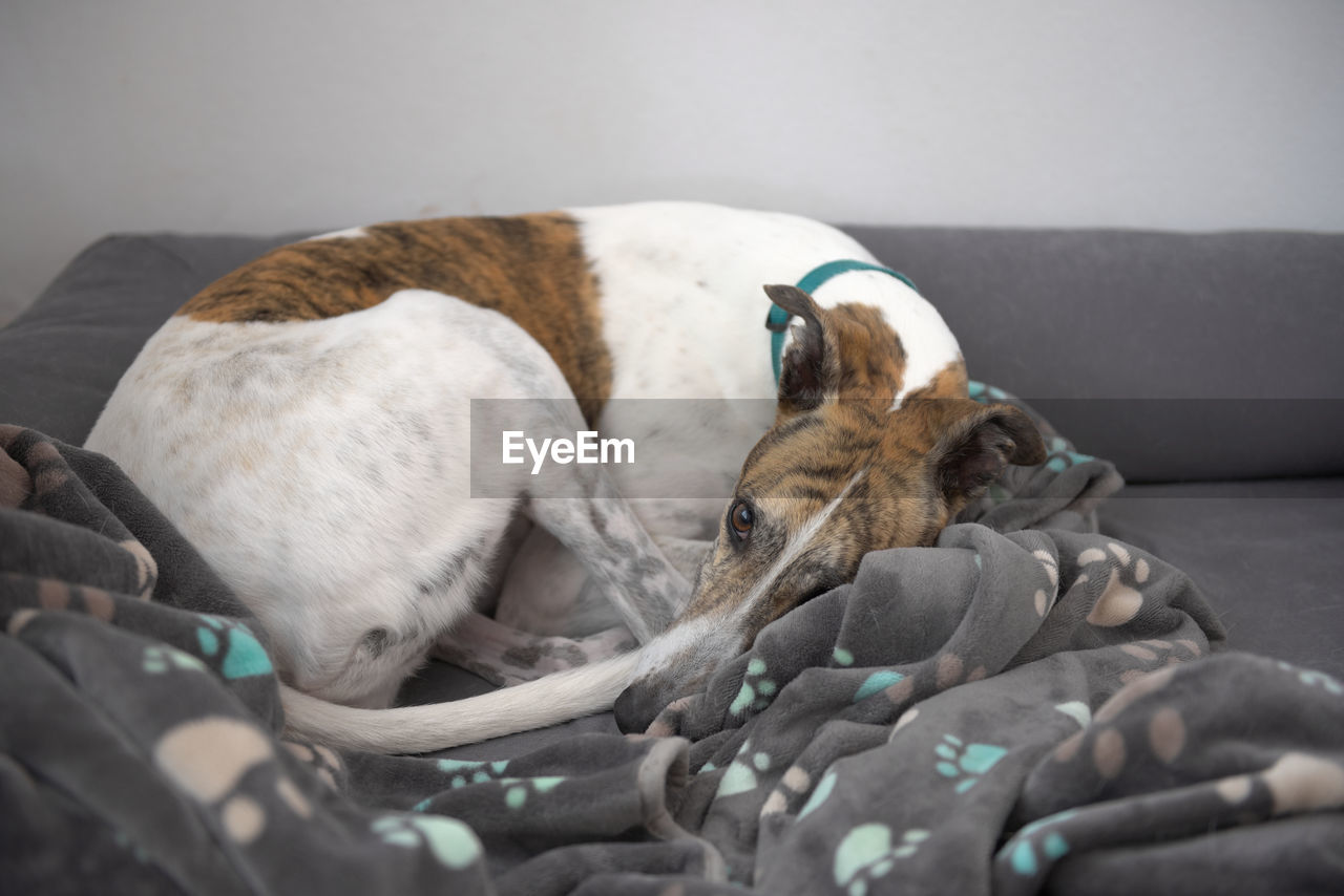 White and brindle pet greyhound looks at the camera as she curls up amongst a paw patterned blanket