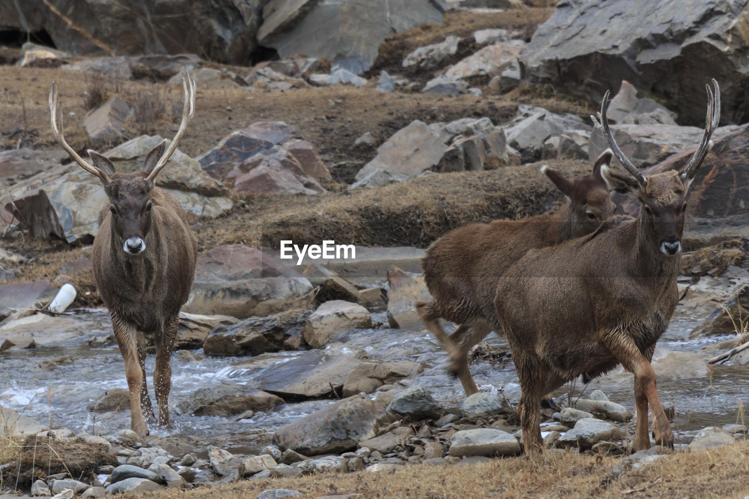Deer by stream