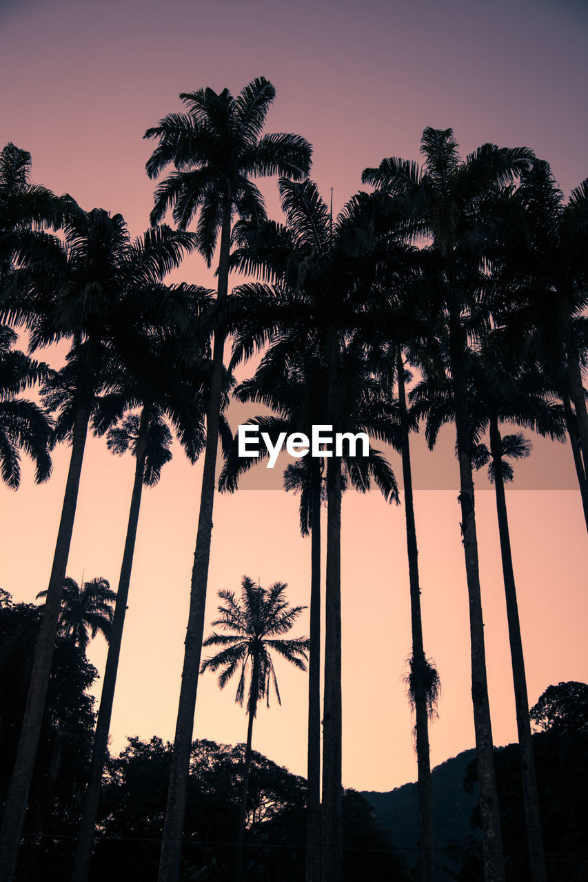 palm tree, tree, tropical climate, sky, plant, low angle view, silhouette, sunset, growth, nature, no people, tall - high, trunk, tree trunk, clear sky, beauty in nature, tranquility, scenics - nature, outdoors, tranquil scene, coconut palm tree, tropical tree, palm leaf