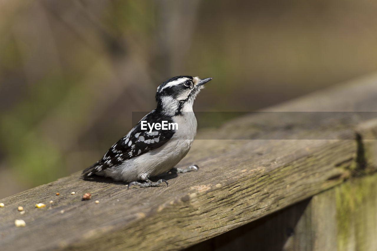 animals in the wild, animal wildlife, animal themes, bird, animal, wood - material, vertebrate, one animal, selective focus, no people, perching, day, close-up, nature, outdoors, tree, railing, boundary, barrier, plant