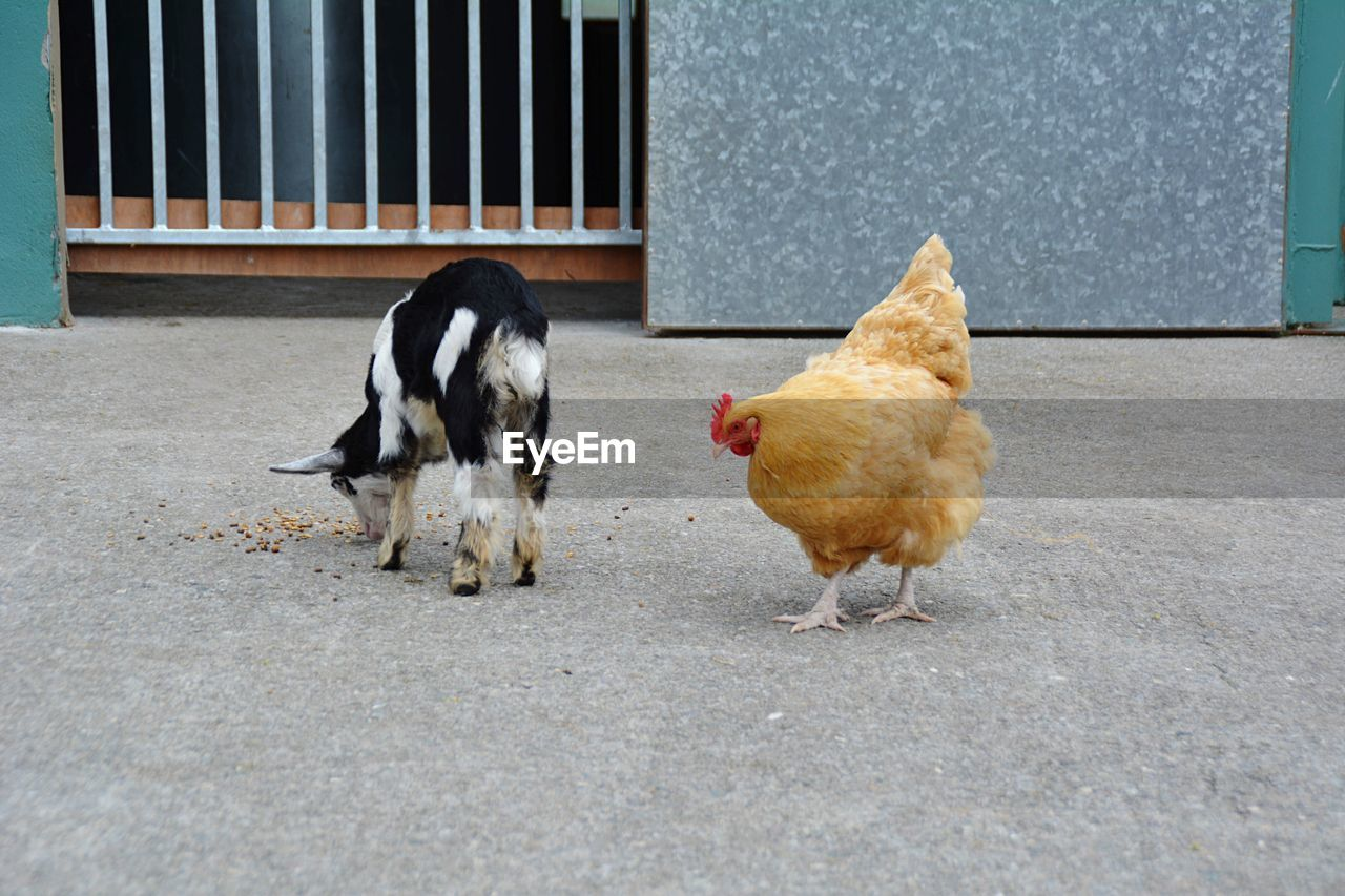 Goat and chicken standing outdoors