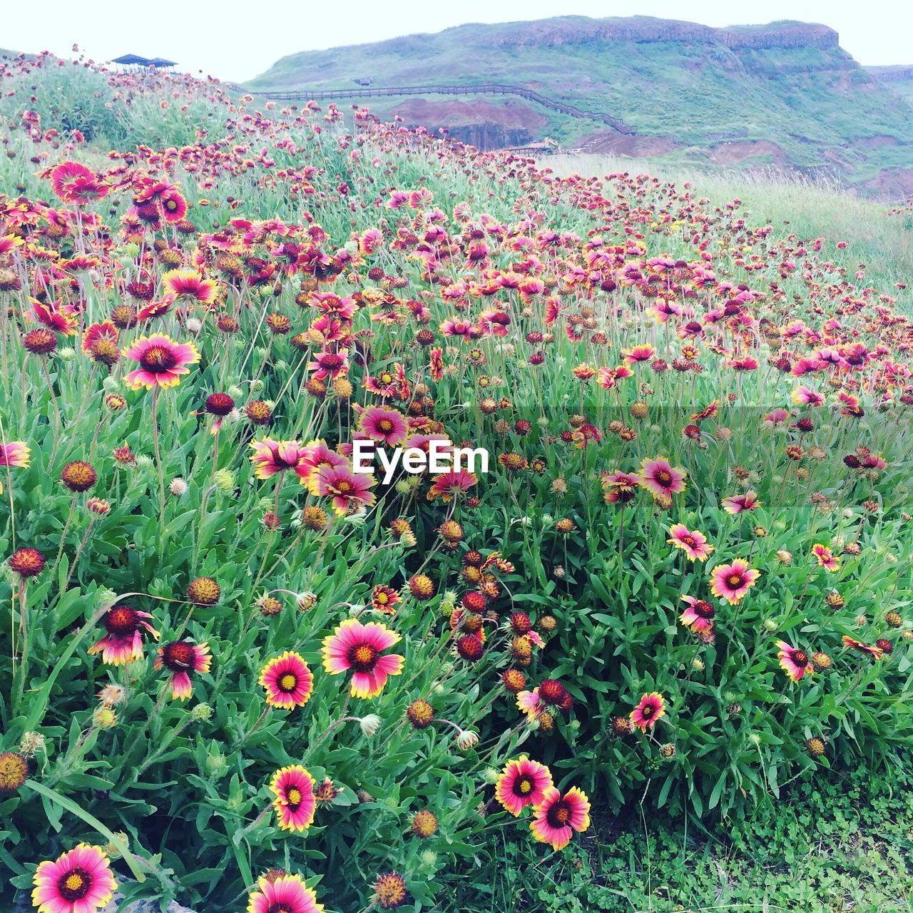nature, beauty in nature, growth, flower, day, field, scenics, tranquility, outdoors, mountain, no people, plant, tranquil scene, green color, landscape, freshness, grass, blooming, sky, fragility