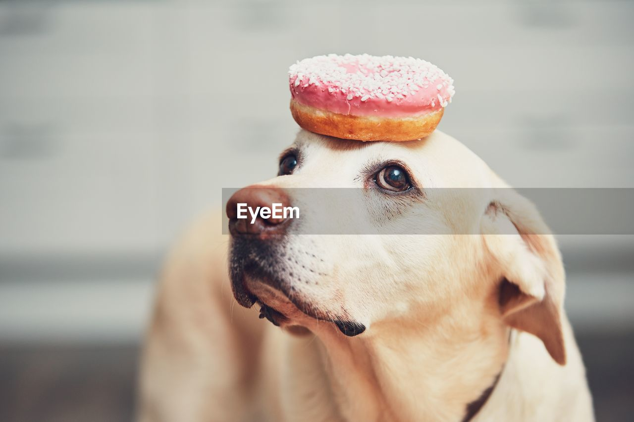 Close-Up Of Donut On Dog Head