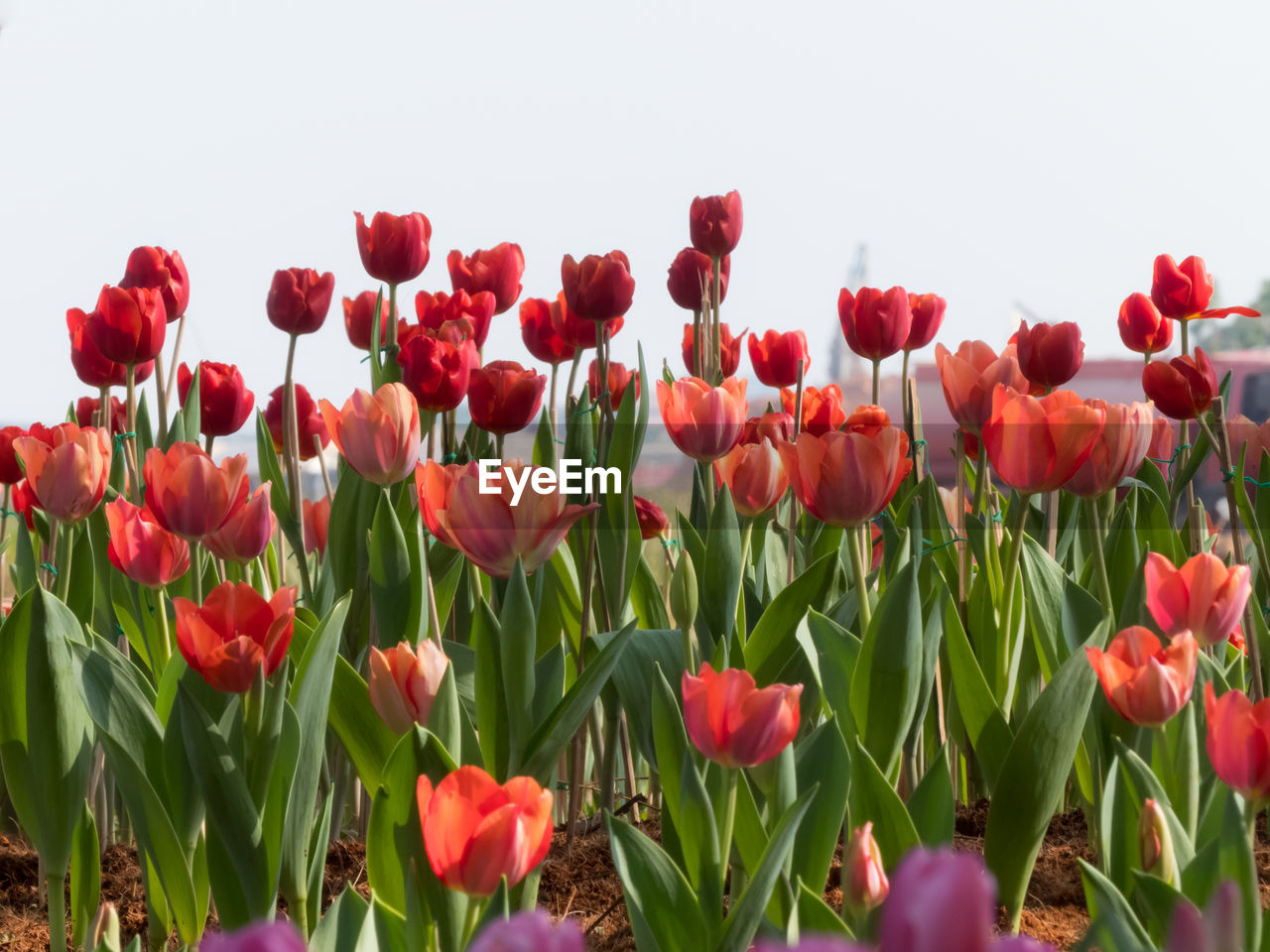flower, flowering plant, plant, beauty in nature, freshness, vulnerability, fragility, petal, growth, close-up, flower head, red, tulip, nature, inflorescence, field, no people, land, plant stem, green color, outdoors