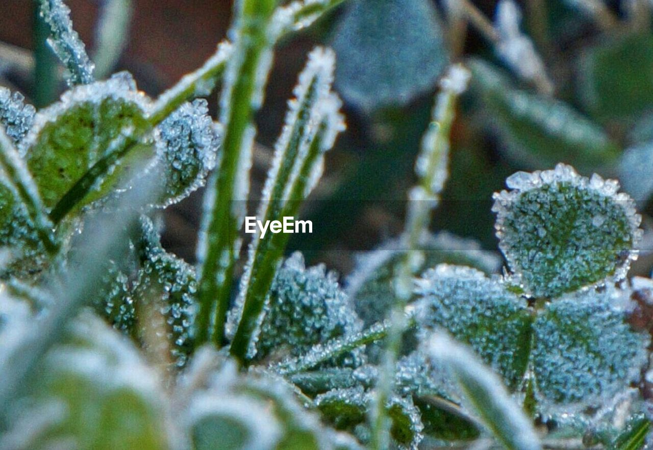 winter, cold temperature, snow, nature, weather, frozen, beauty in nature, plant, ice, growth, green color, frost, close-up, no people, outdoors, day, fragility, freshness, snowflake, branch, ice crystal