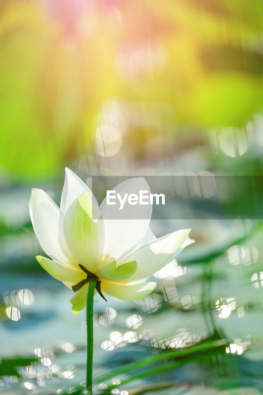 flowering plant, flower, freshness, plant, beauty in nature, vulnerability, petal, fragility, close-up, inflorescence, flower head, nature, water, white color, growth, focus on foreground, day, no people, water lily, outdoors, lotus water lily