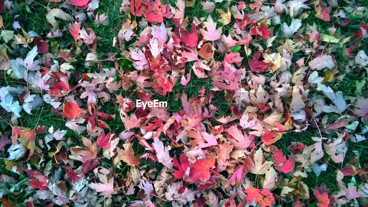 leaf, flower, autumn, nature, change, fragility, abundance, full frame, beauty in nature, petal, backgrounds, growth, no people, day, plant, outdoors, ivy, close-up, multi colored, freshness, flower head