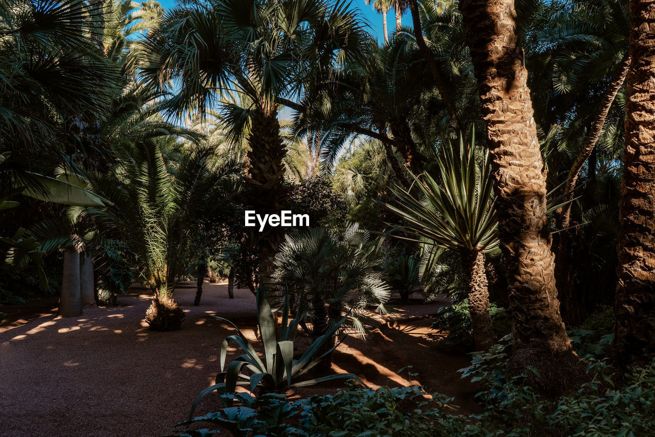 tree, plant, palm tree, growth, tropical climate, nature, no people, tree trunk, day, trunk, land, tranquility, outdoors, beauty in nature, sunlight, tranquil scene, date palm tree, park, sky, forest, palm leaf, coconut palm tree