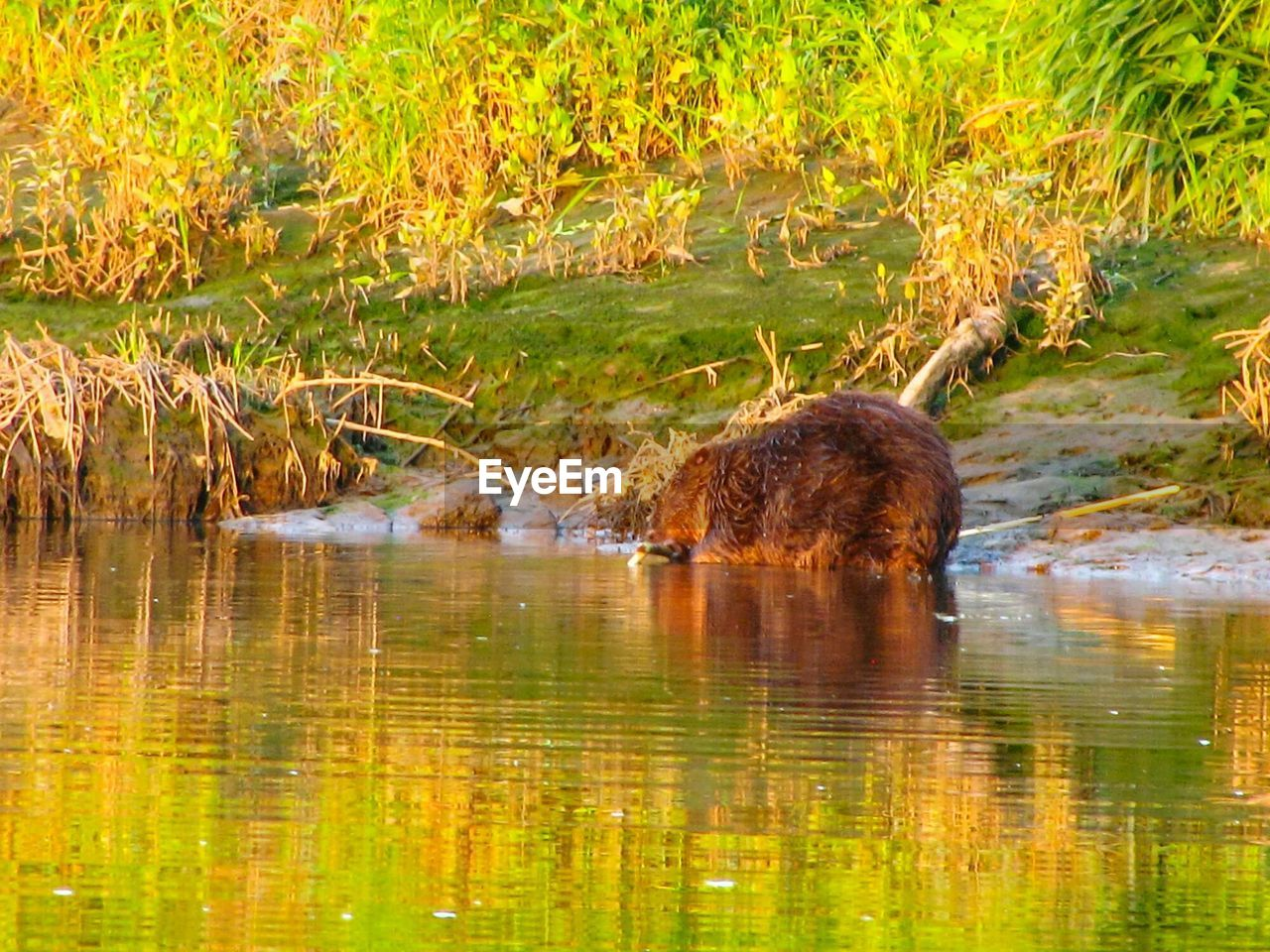 animal themes, animal, animal wildlife, water, animals in the wild, lake, one animal, mammal, reflection, plant, nature, no people, waterfront, vertebrate, day, green color, grass, outdoors