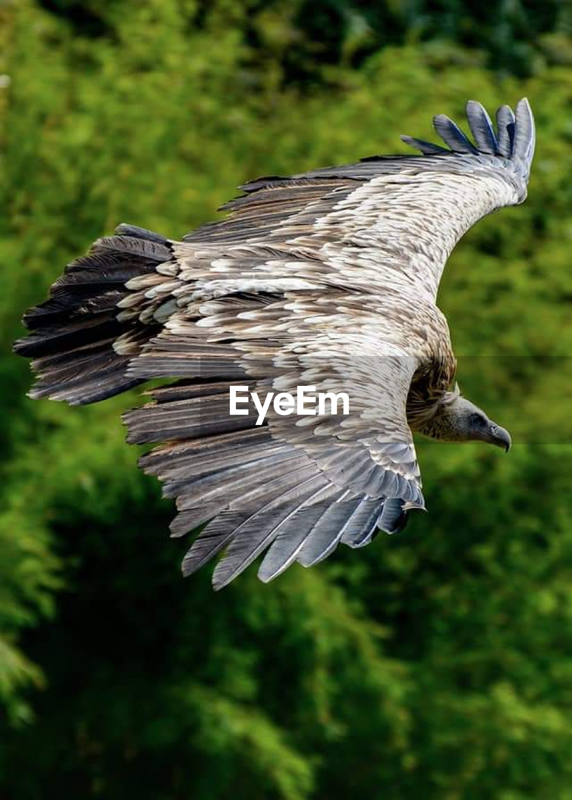 Close-up of eagle flying