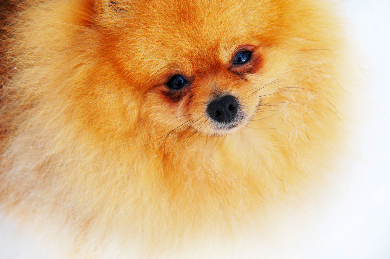 High Angle Portrait Of Pomeranian Against White Background