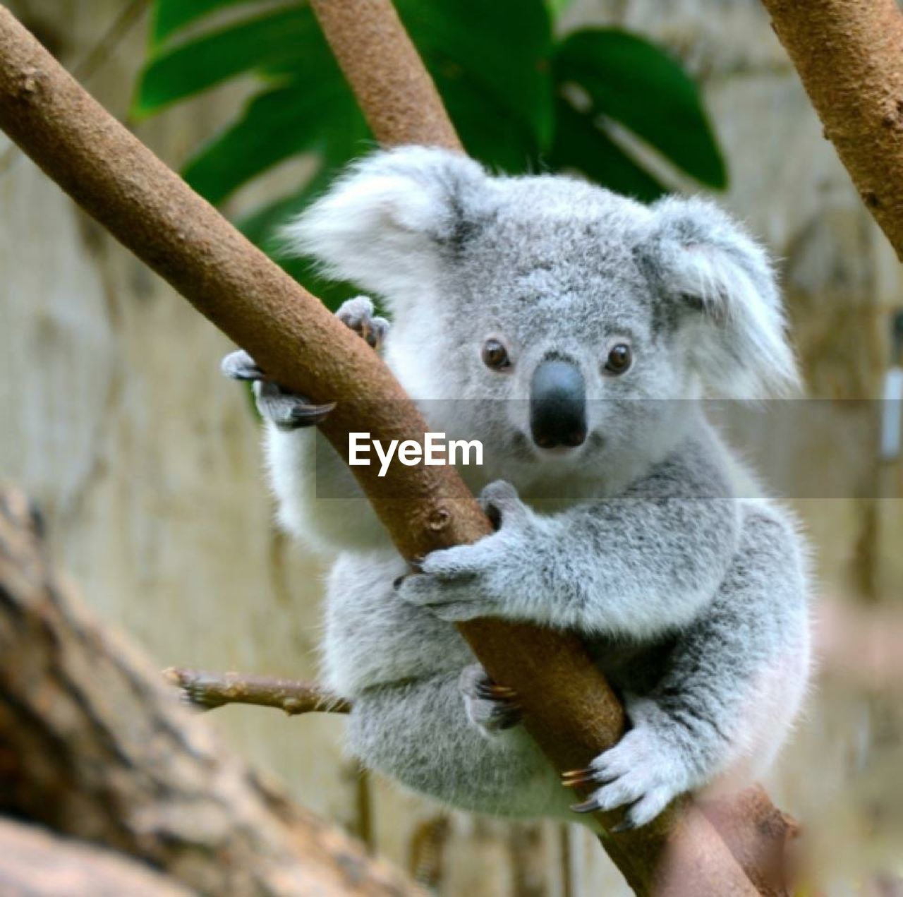koala, one animal, animals in the wild, animal themes, animal wildlife, looking at camera, branch, mammal, day, no people, sitting, tree, outdoors, portrait, close-up, nature
