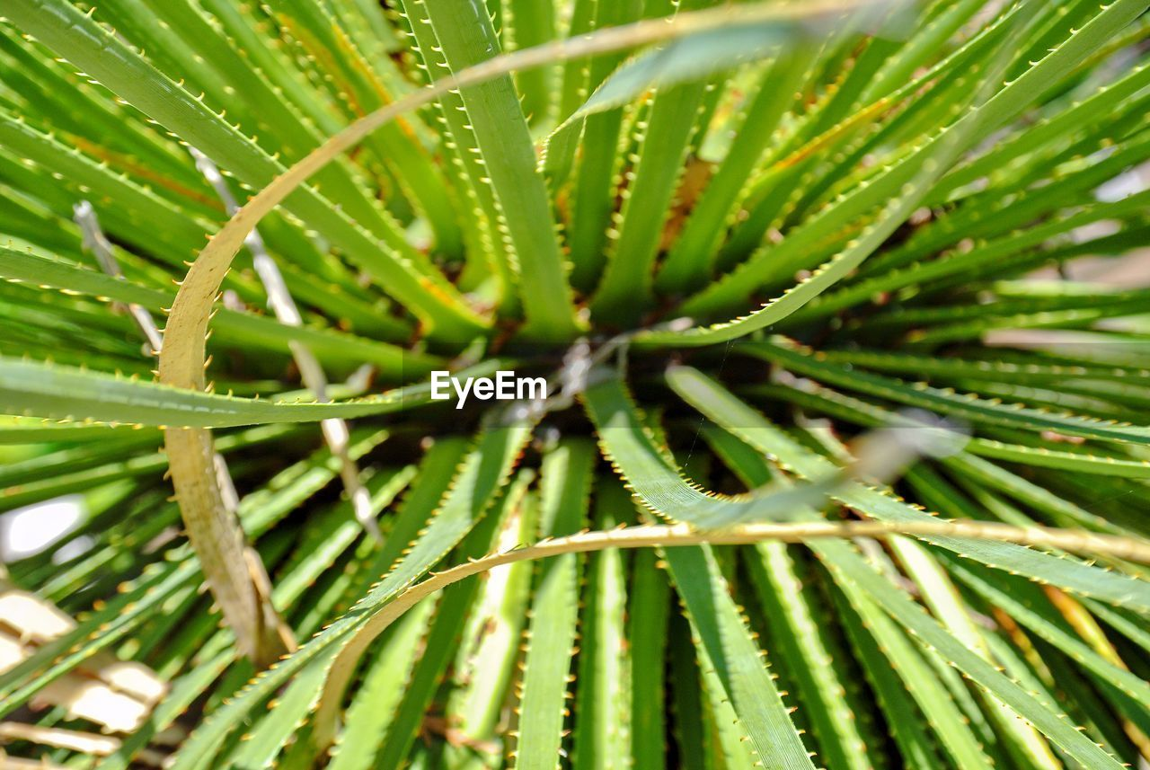 plant, growth, green color, leaf, plant part, close-up, beauty in nature, day, nature, no people, focus on foreground, tree, selective focus, outdoors, freshness, green, branch, full frame, natural pattern, pine tree, coniferous tree, needle - plant part, palm leaf, leaves, spiky