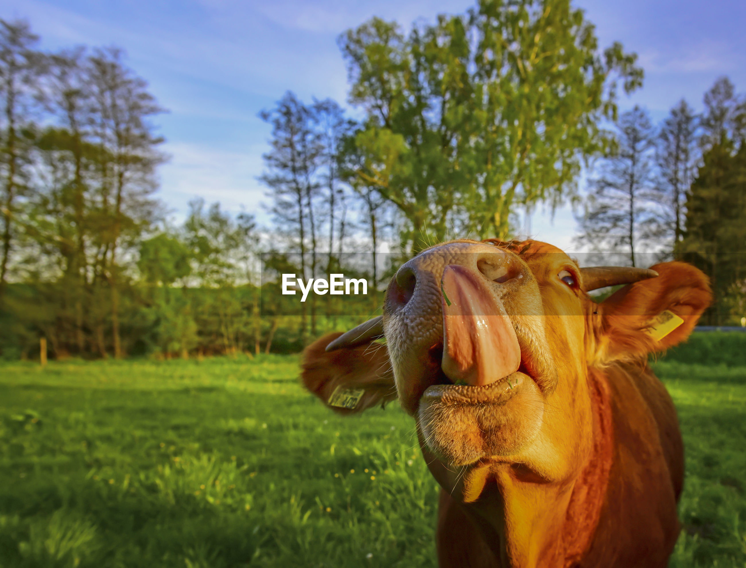 Close-up of cow sticking out tongue while standing on grassy field