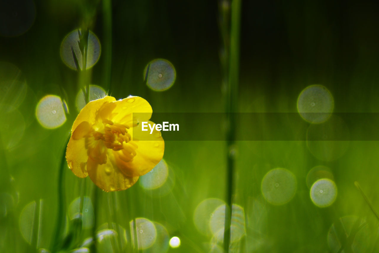 Close-up of yellow flower against defocused background