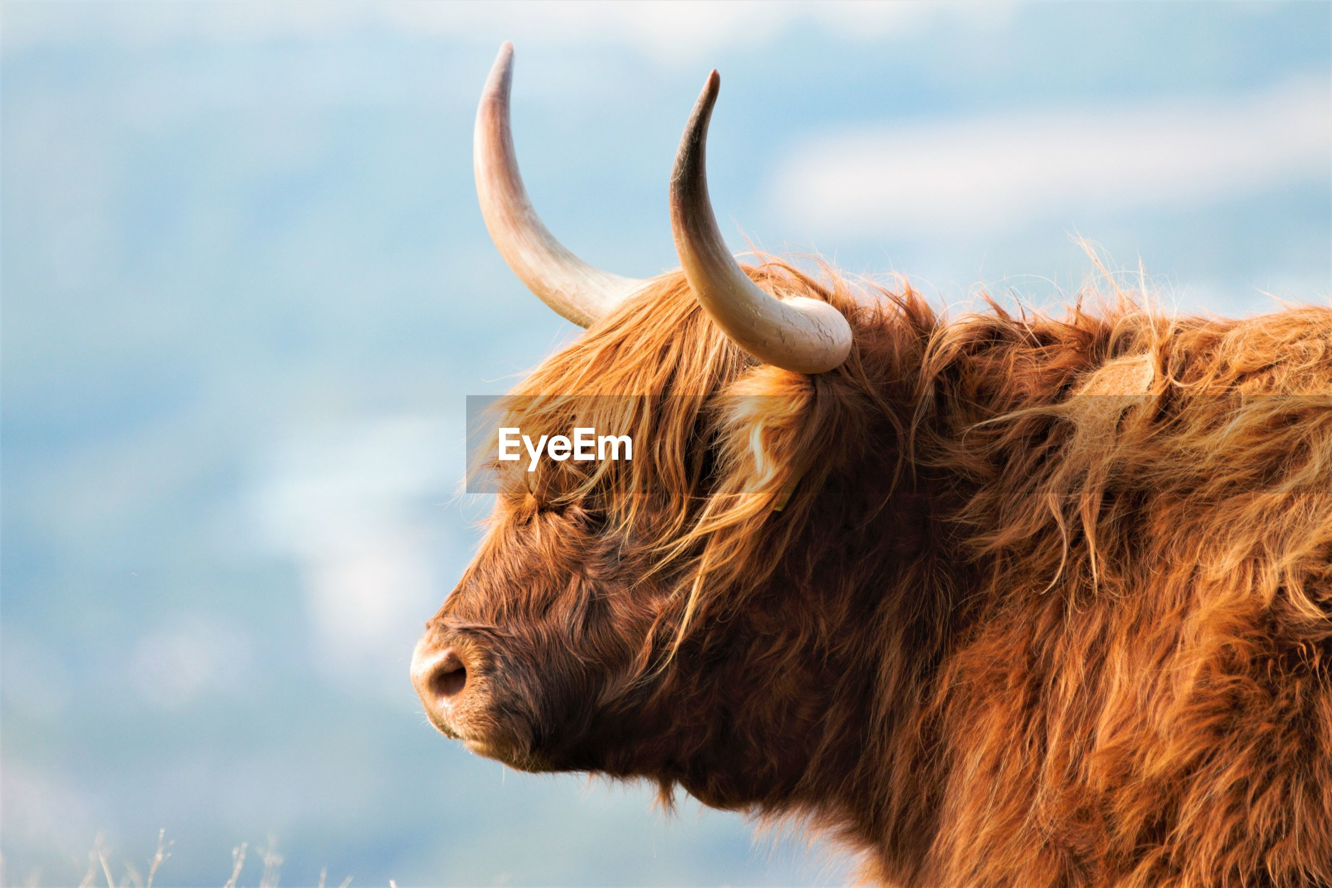 Close-up of a highland cow against the sky