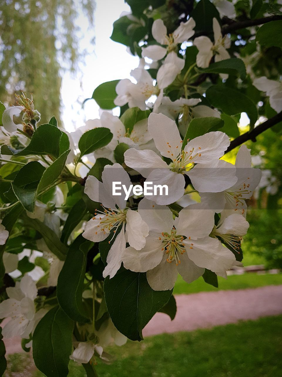 plant, flower, flowering plant, beauty in nature, growth, fragility, vulnerability, freshness, petal, close-up, leaf, plant part, focus on foreground, white color, flower head, inflorescence, nature, day, blossom, tree, no people, outdoors, springtime, pollen, bunch of flowers, cherry blossom
