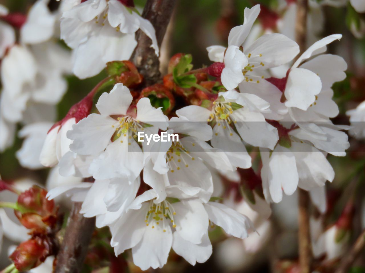 flower, flowering plant, plant, growth, freshness, beauty in nature, petal, fragility, vulnerability, white color, close-up, flower head, inflorescence, focus on foreground, no people, nature, blossom, day, pollen, outdoors, springtime, cherry blossom, bunch of flowers, spring