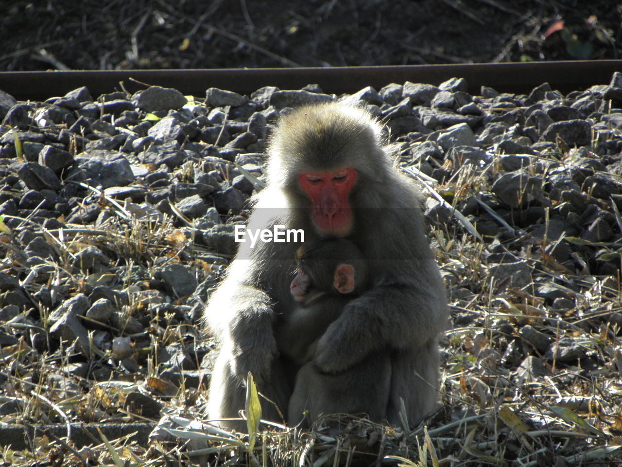 animals in the wild, animal wildlife, primate, vertebrate, mammal, day, one animal, young animal, no people, nature, sitting, focus on foreground, outdoors, animal family, care