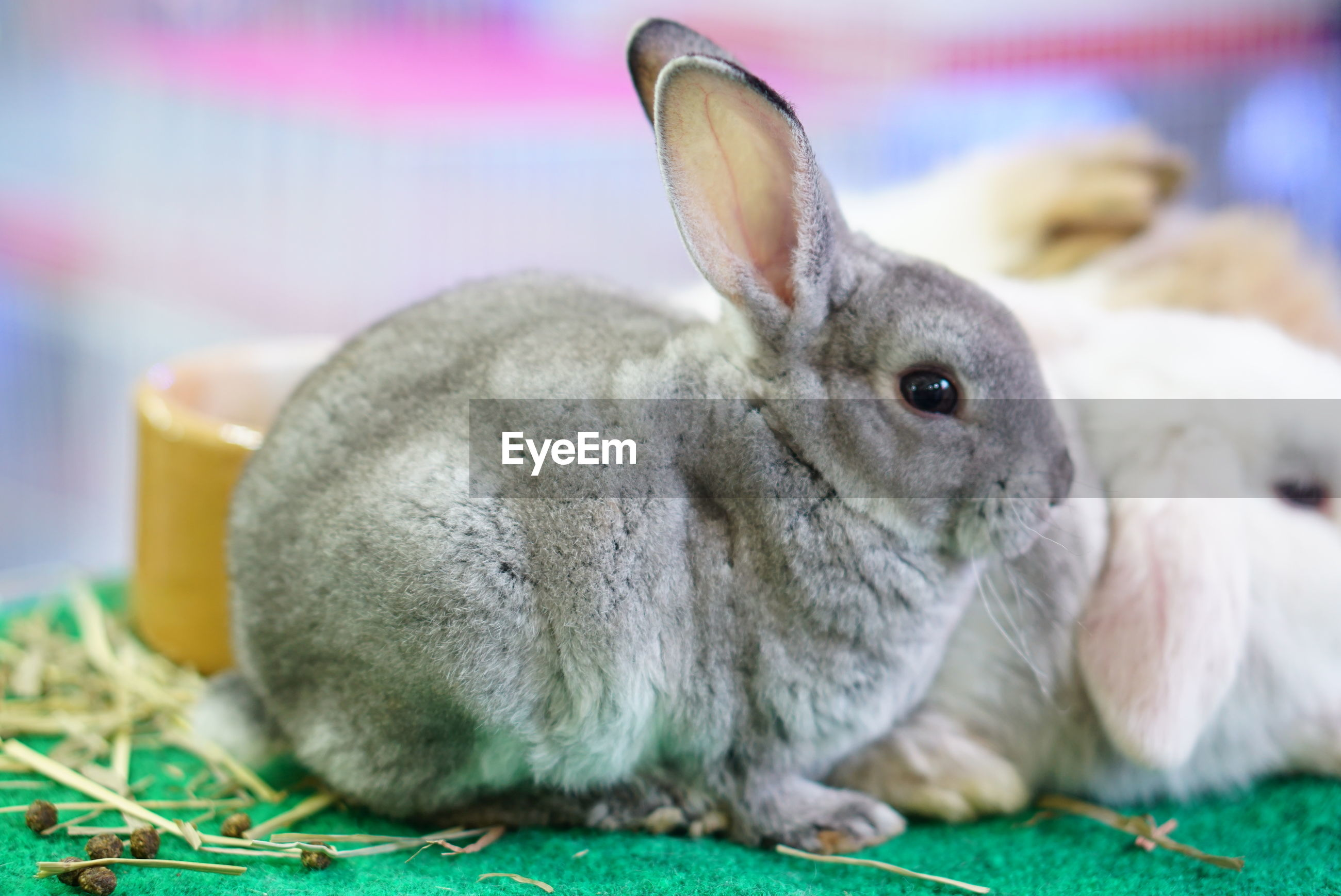 CLOSE-UP OF RABBIT IN INDOORS