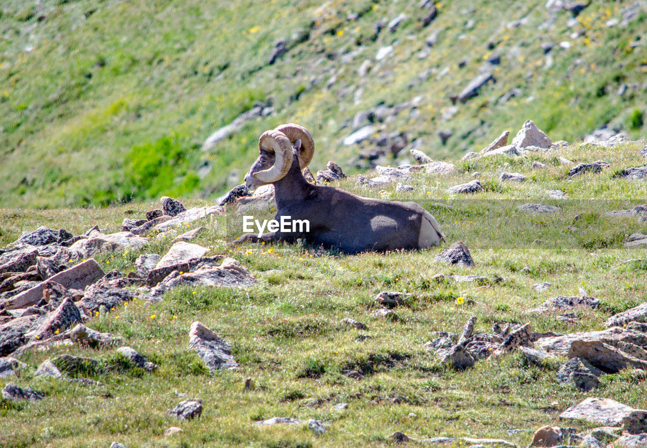 VIEW OF AN ANIMAL ON ROCK AT FIELD