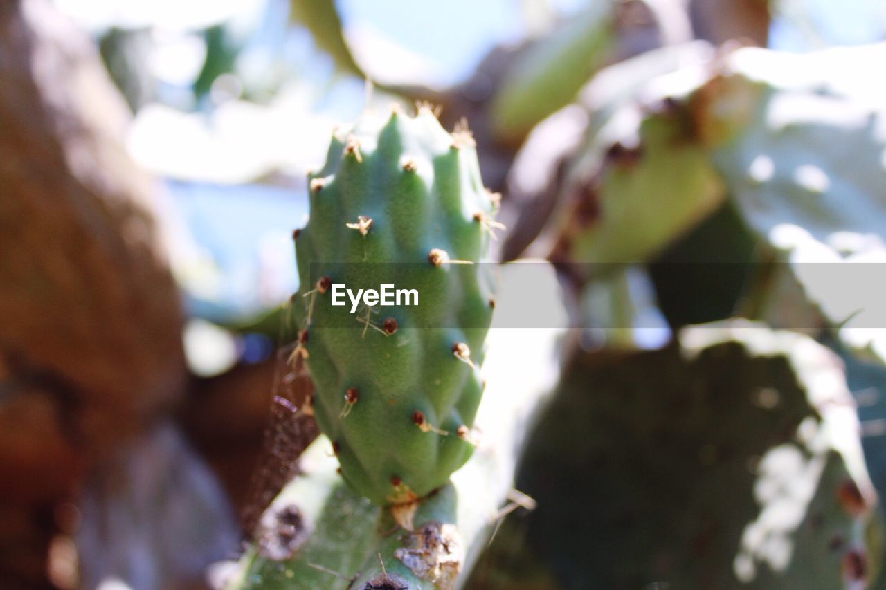 cactus, growth, thorn, green color, focus on foreground, nature, close-up, day, plant, outdoors, prickly pear cactus, selective focus, spiked, no people, risk, sunlight, beauty in nature