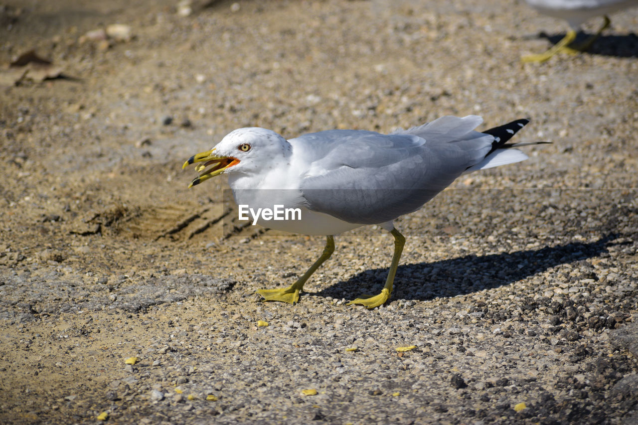 animal themes, bird, animal wildlife, animal, animals in the wild, vertebrate, one animal, day, seagull, no people, nature, focus on foreground, land, perching, outdoors, sunlight, full length, close-up, beak, side view