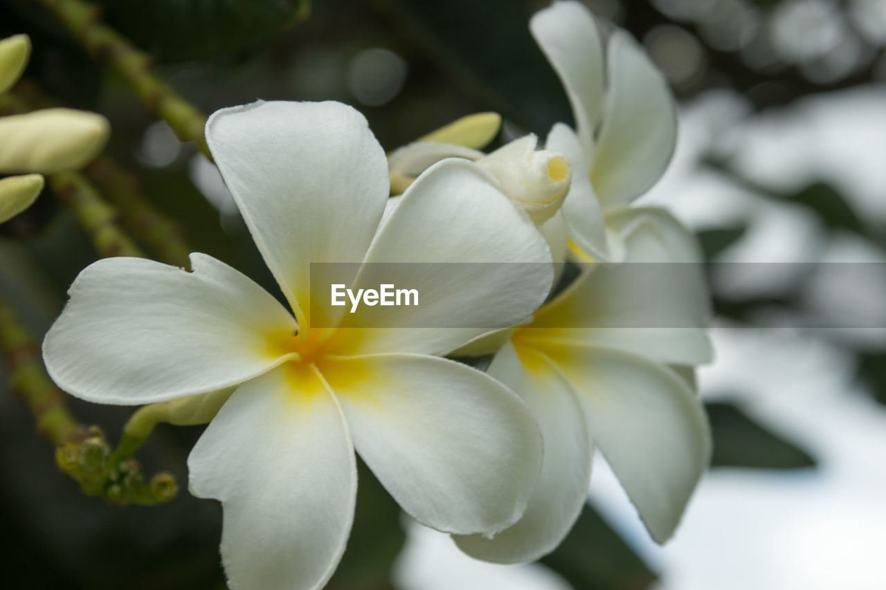 flower, petal, beauty in nature, nature, growth, fragility, plant, flower head, blooming, freshness, no people, outdoors, day, close-up, frangipani