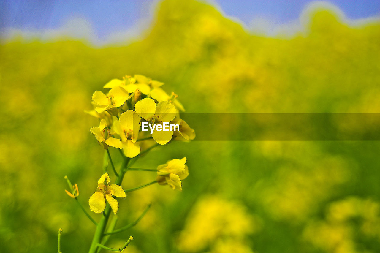 yellow, flower, nature, beauty in nature, growth, fragility, plant, no people, oilseed rape, freshness, outdoors, springtime, day, mustard plant, close-up, flower head, blooming, sky