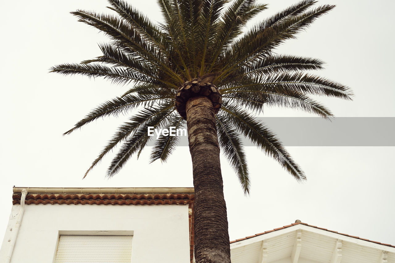 tropical climate, palm tree, tree, low angle view, sky, architecture, tree trunk, trunk, plant, building exterior, nature, built structure, growth, no people, building, tall - high, clear sky, outdoors, day, date palm tree, tropical tree, coconut palm tree, palm leaf