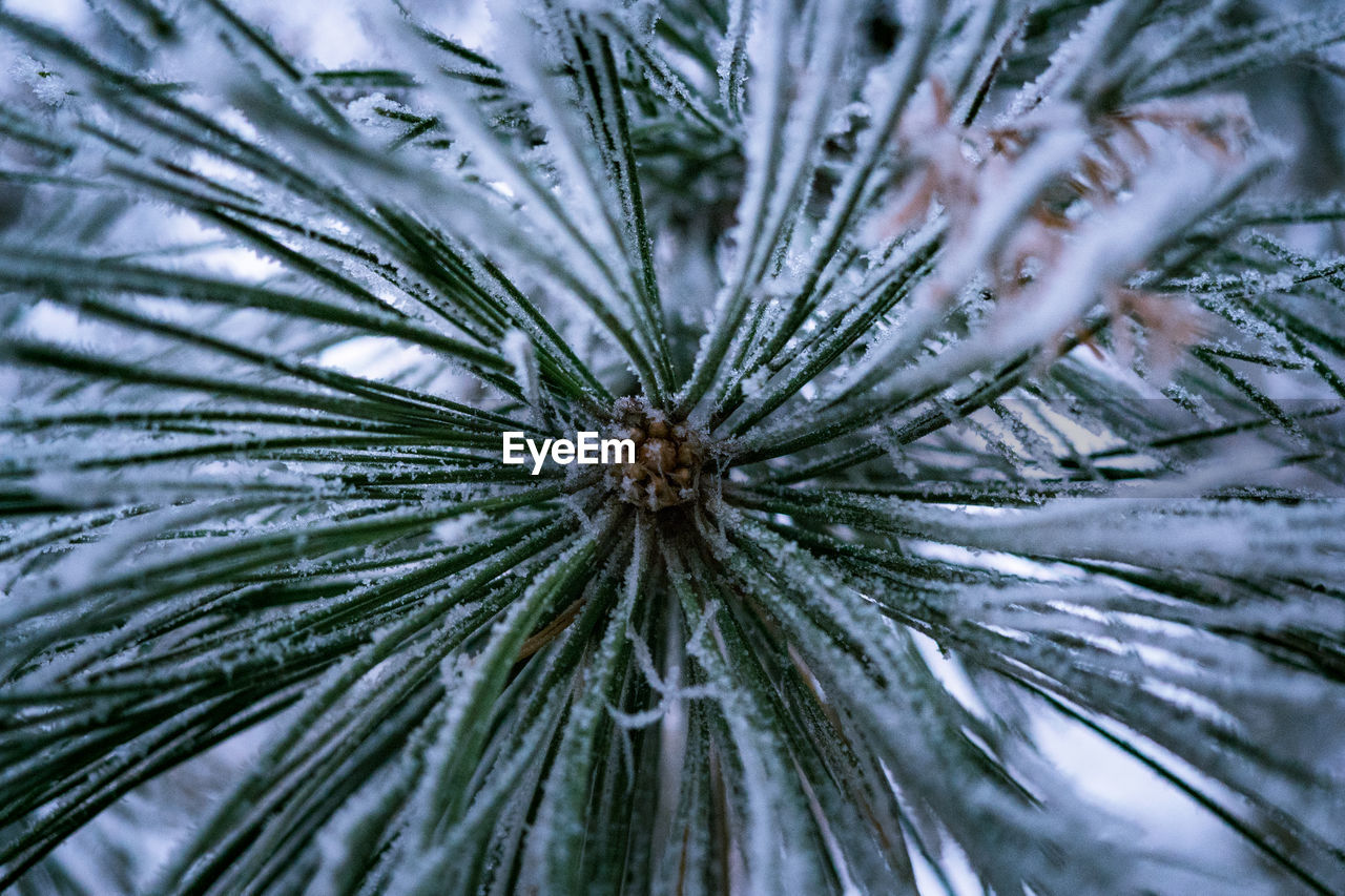 plant, tree, no people, close-up, nature, pine tree, growth, beauty in nature, winter, full frame, cold temperature, day, coniferous tree, backgrounds, outdoors, branch, tranquility, green color, snow, needle - plant part