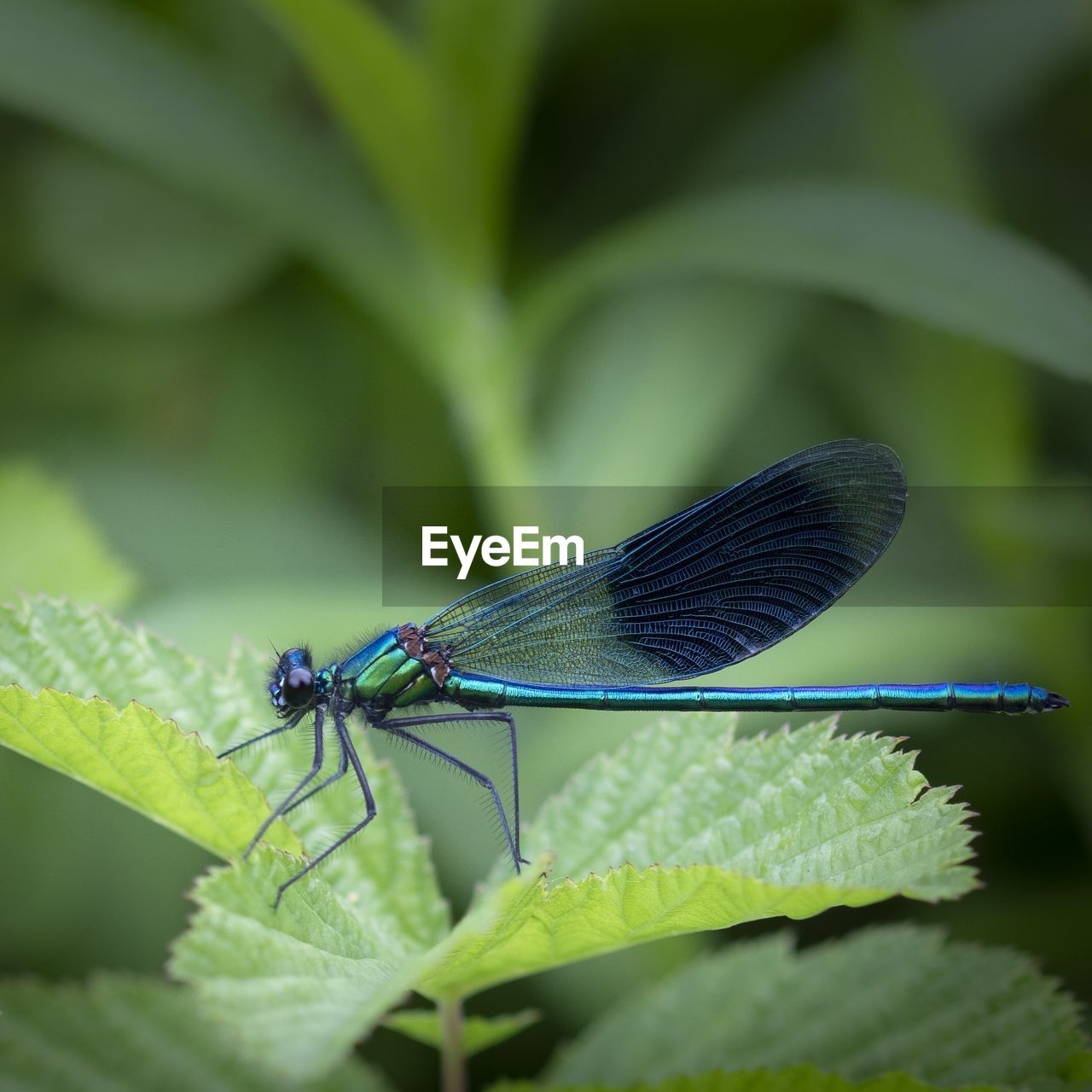 insect, invertebrate, animal wildlife, animal themes, animals in the wild, one animal, animal, plant part, green color, leaf, damselfly, close-up, animal wing, nature, plant, growth, day, no people, selective focus, blue, outdoors