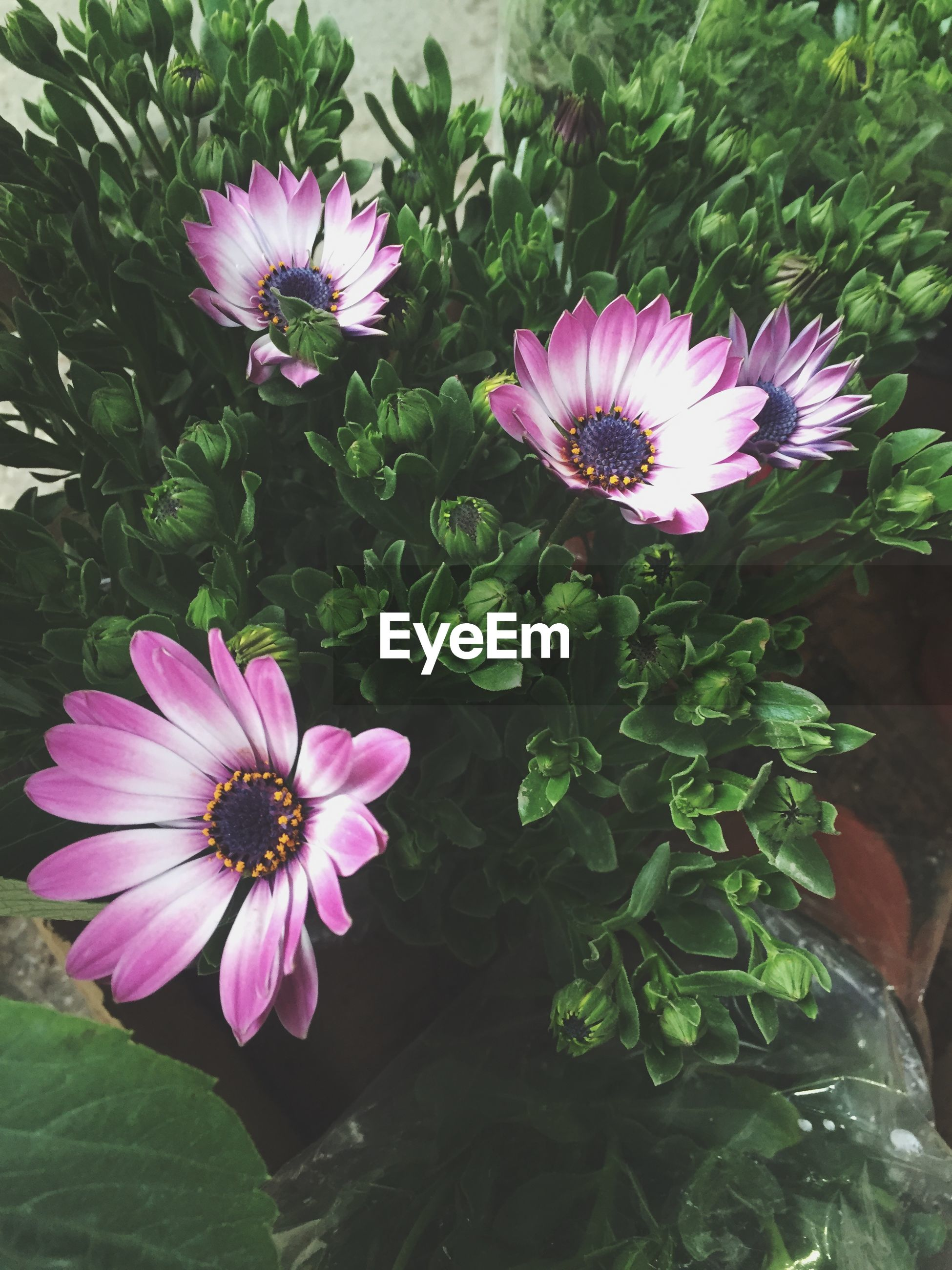 flower, freshness, petal, fragility, flower head, pink color, growth, beauty in nature, blooming, plant, leaf, nature, in bloom, pollen, close-up, purple, blossom, pink, outdoors, day