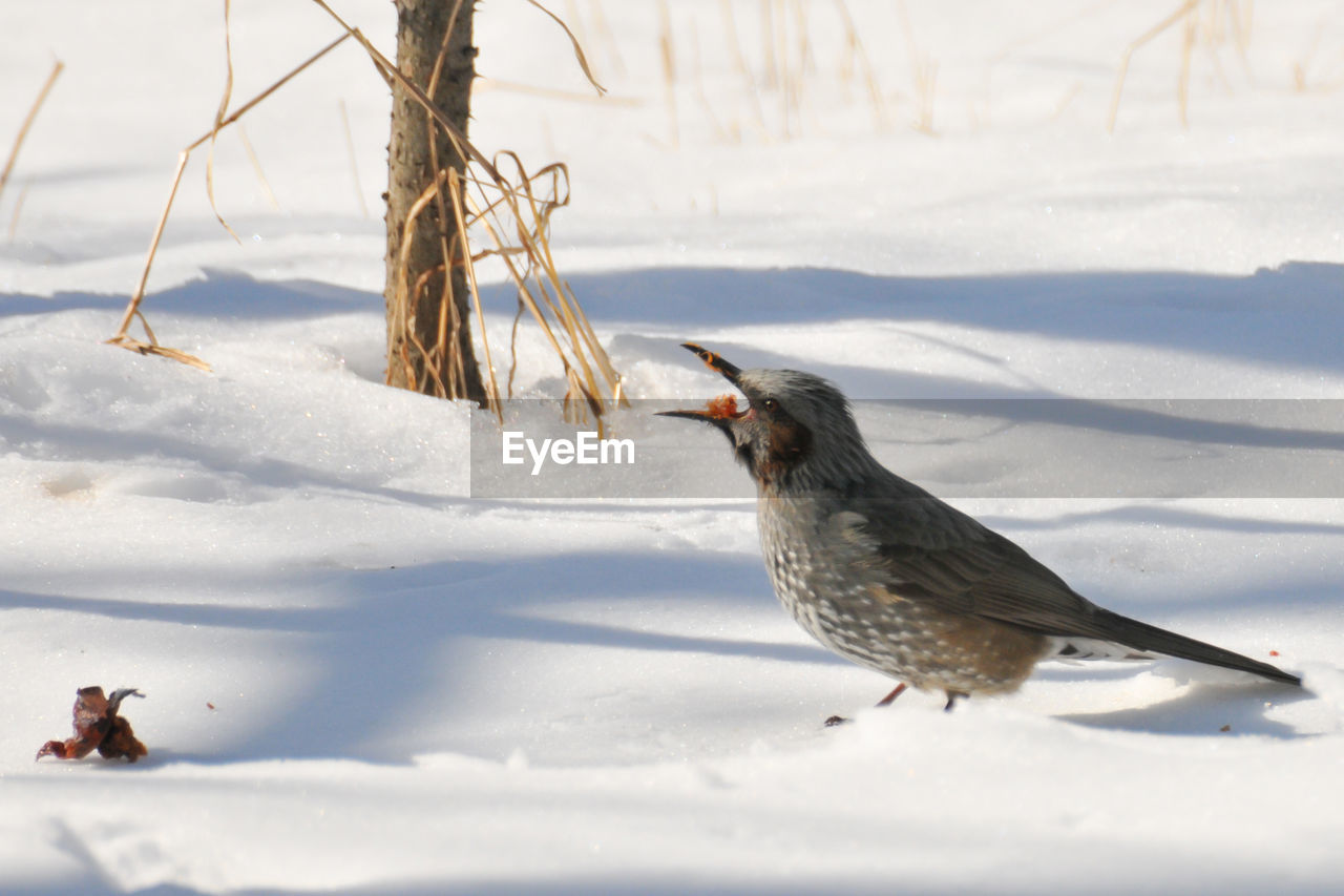 CLOSE-UP OF BIRD ON FIELD DURING WINTER