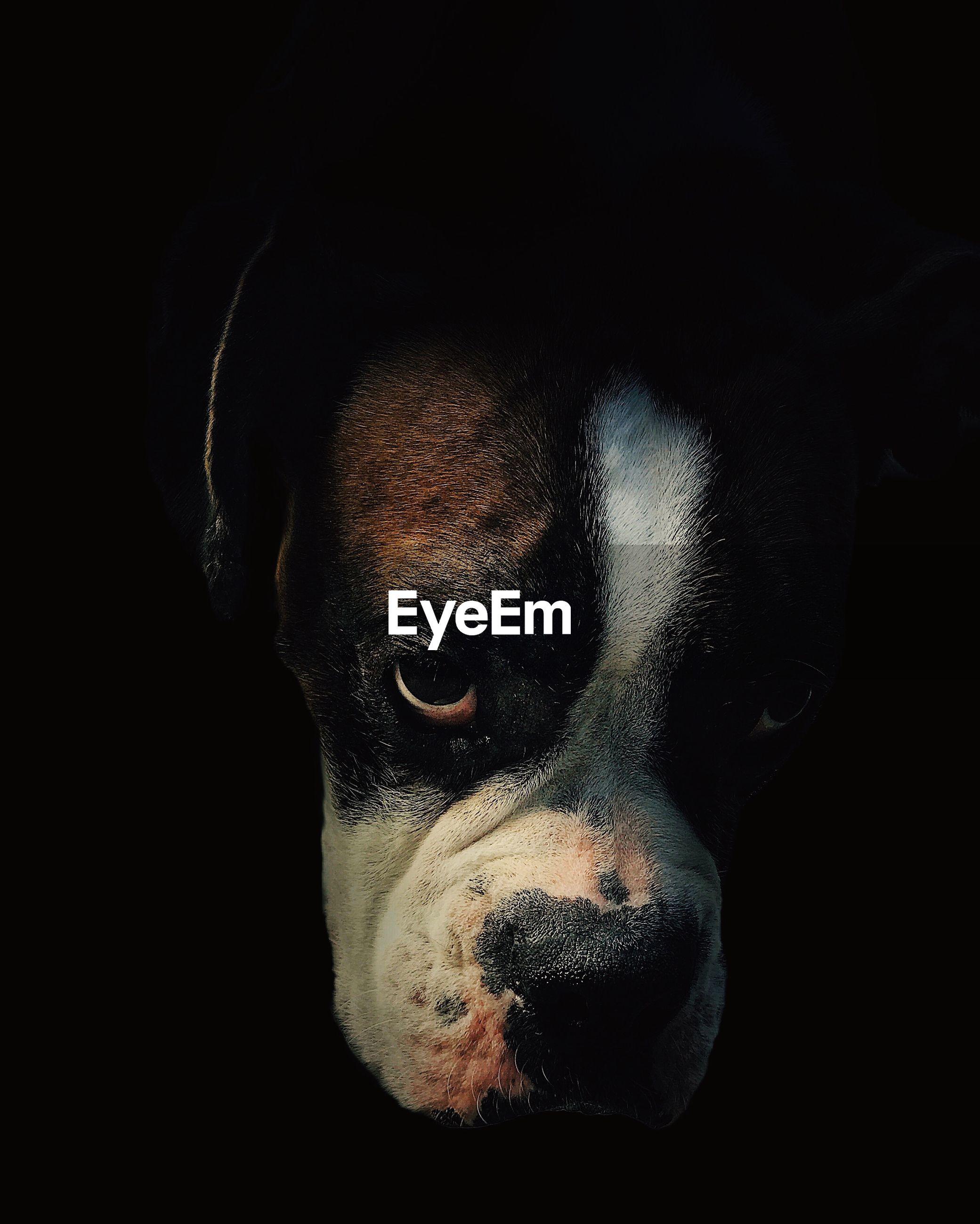 one animal, mammal, dog, canine, pets, domestic, domestic animals, vertebrate, black background, indoors, animal body part, studio shot, close-up, portrait, no people, looking at camera, animal eye