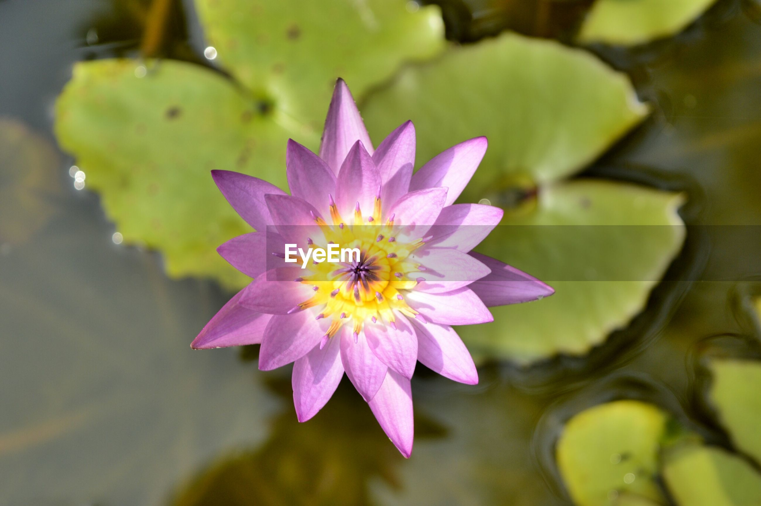 flower, petal, freshness, flower head, fragility, water lily, single flower, beauty in nature, pollen, close-up, growth, purple, blooming, nature, pond, focus on foreground, plant, leaf, pink color, high angle view